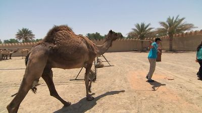 One Hot Camel