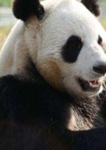 Giant Pandas Go Wild